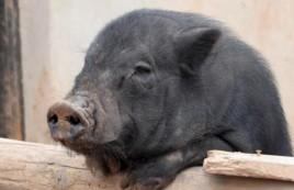 """Forges : Le cochon """"indic"""" malgré lui de la Gendarmerie"""
