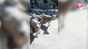 """La rubrique à Dada : les moutons """"tondeuses"""" font le buzz à La Rochelle"""
