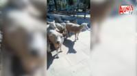 Moutons La Rochelle La rubrique à Dada