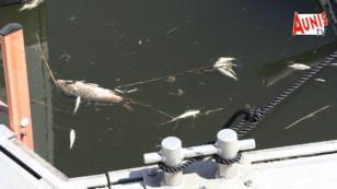 Marans : par dizaine les poissons de la Sèvre niortaise sont ventre en l'air dans le port