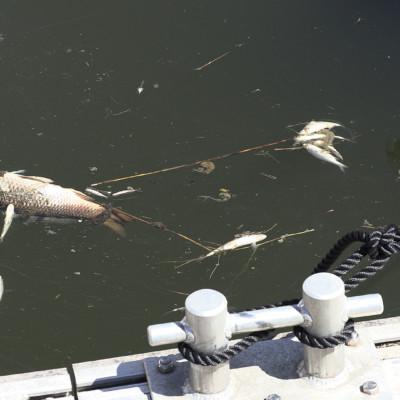 Marans poisson mort bacage sèvre niortaise vase