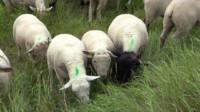 Des moutons broutent l'herbe des digues situées dans le Marais poitevin. (© Ludovic Sarrazin)