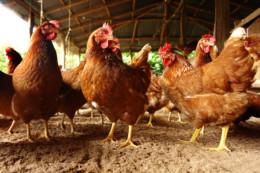 Charente-Maritime : épidémie de grippe aviaire, obligation de confiner aussi la volaille
