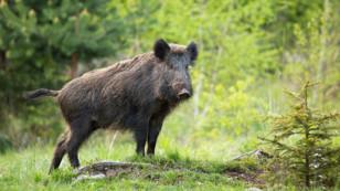 Charente-Maritime : pour protéger les cultures, les battues de régulation des grands gibiers autorisées par la préfecture
