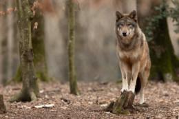 A Frontenay-Rohan-Rohan (79), les autorités sont à la recherche depuis vendredi 13 novembre de trois loups échappés d'un refuge