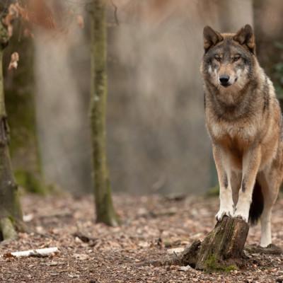 Trois loups échappés d'un sanctuaire s'atatquent aux troupeux de brebis en Charente-Maritime.