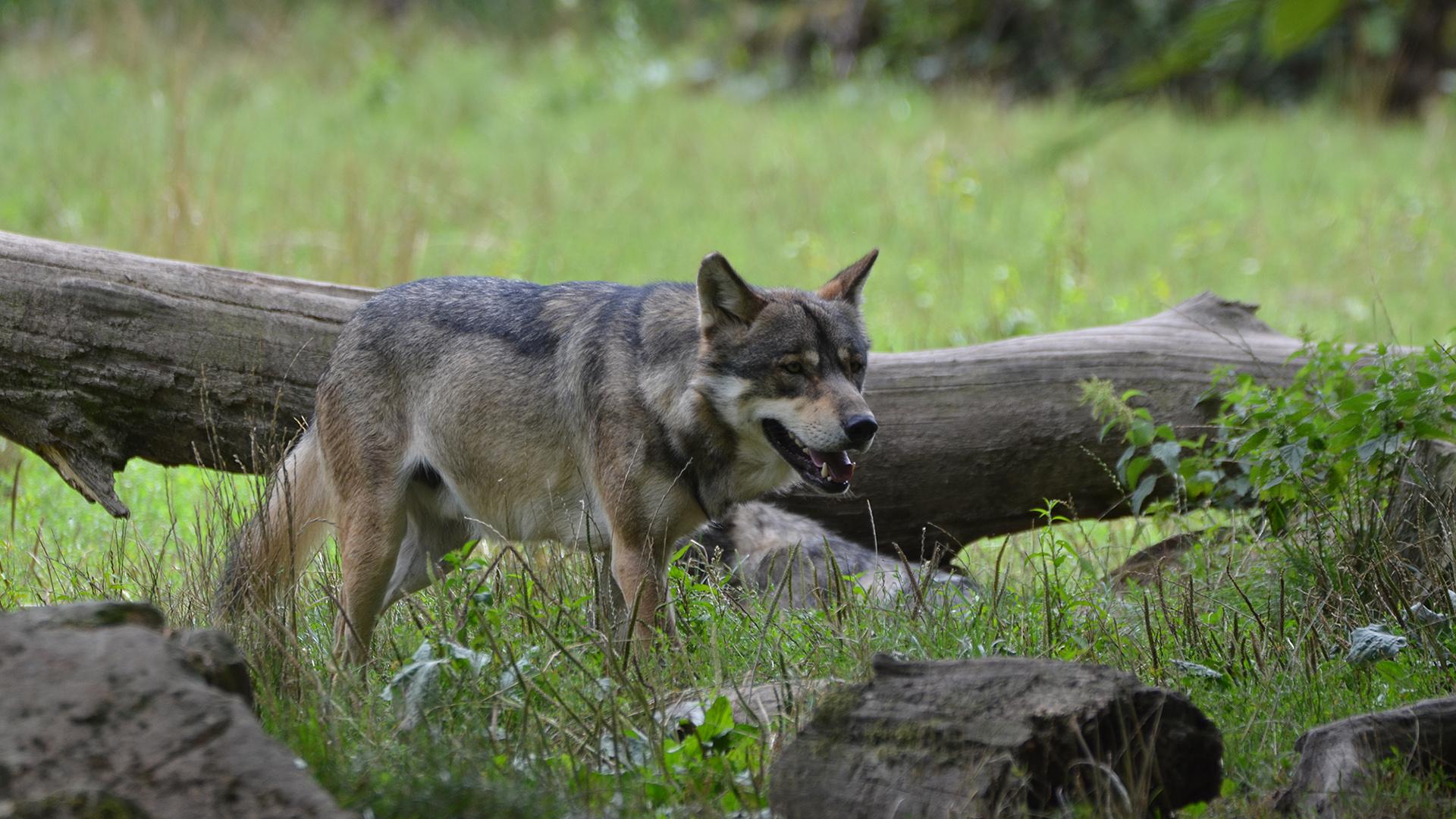 Depuis le 4 décembre il est autorisé de tuer un des loups du refuge de Frontenay-Rohan-Rohan