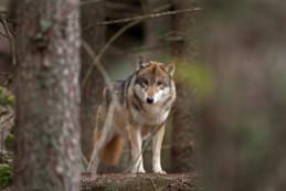 """Courçon : un des loups échappés du refuge """"le sanctuaire des loups"""" a été abattu par les autorités"""